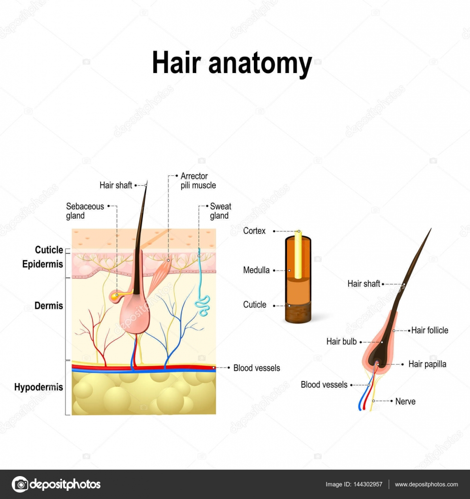 Gemütlich Menschliches Haar Anatomie Ideen - Anatomie Ideen ...
