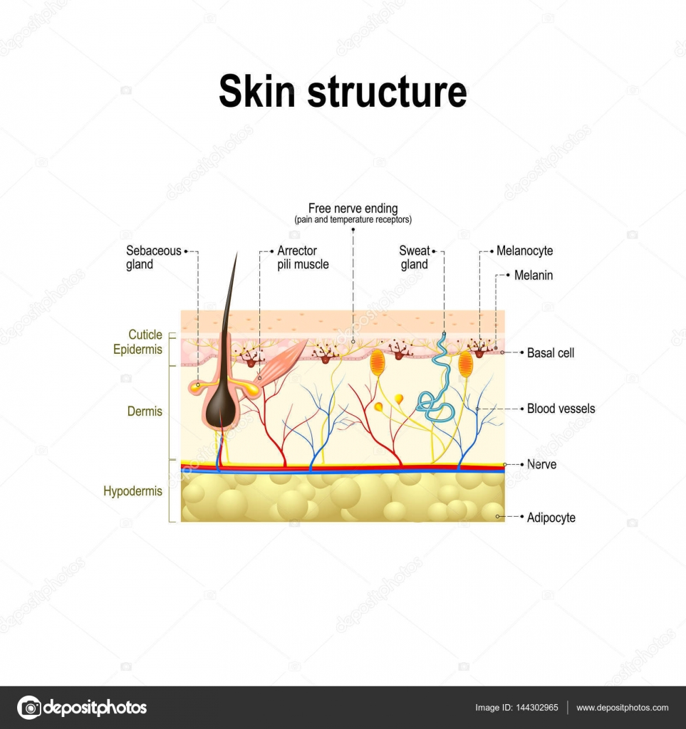 human skin and hair structure. — Stock Vector © edesignua #144302965