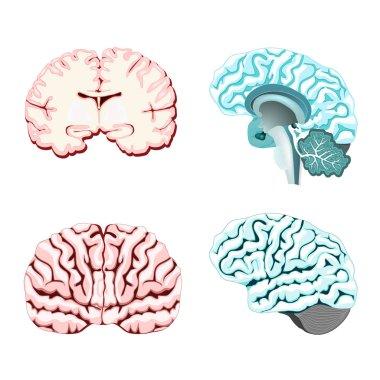 brain cross section.