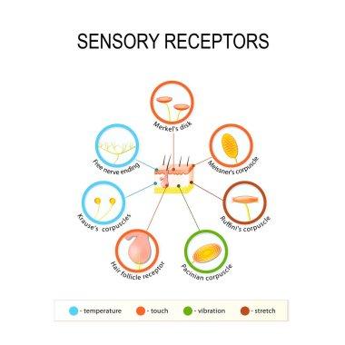 human skin and sensory receptors.