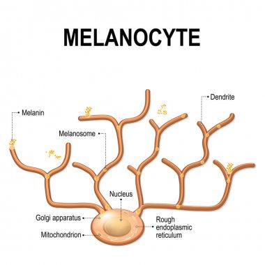 Structure of Melanocyte