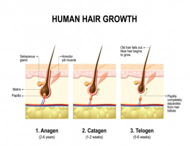 Hair growth. anagen is the growth phase; catagen is the regressing phase; and telogen, the resting or quiescent phase.
