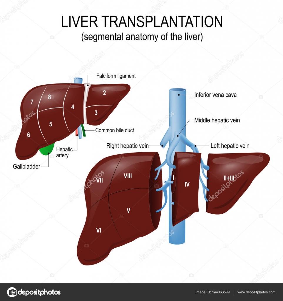 Eine Lebertransplantation. segmentale Anatomie der Leber ...
