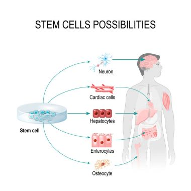 Stem cells possibilities