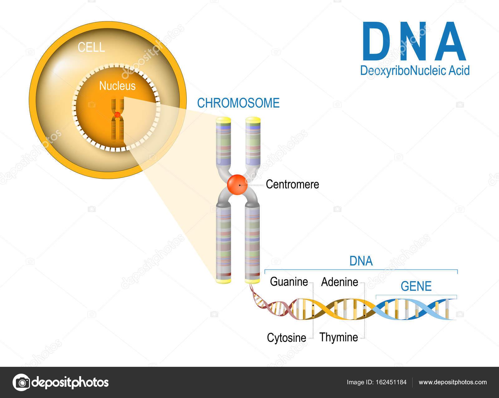 Clula cromossomo dna e gene vetores de stock edesignua 162451184 clula cromossomo dna e gene estrutura celular a molcula de dna uma dupla hlice um gene um comprimento do dna que cdigos para uma protena ccuart Image collections