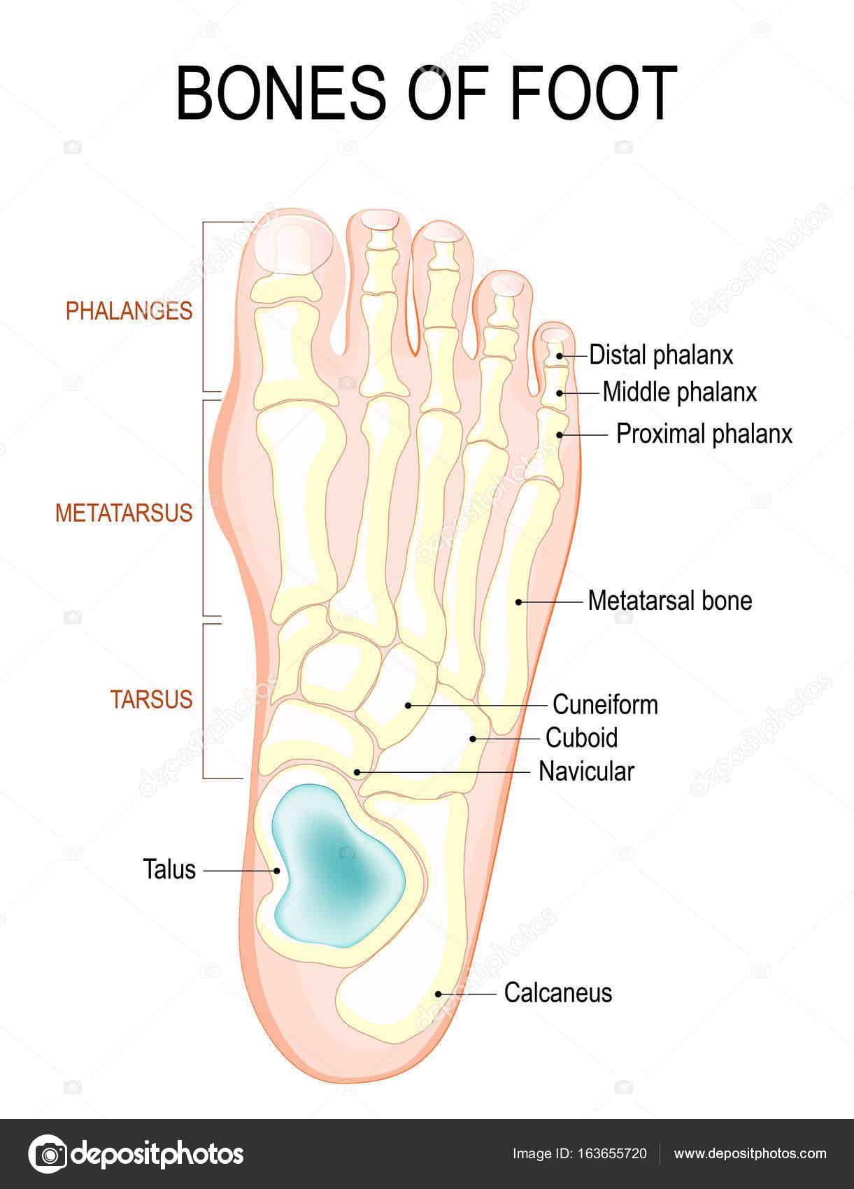 huesos de pie — Archivo Imágenes Vectoriales © edesignua #163655720