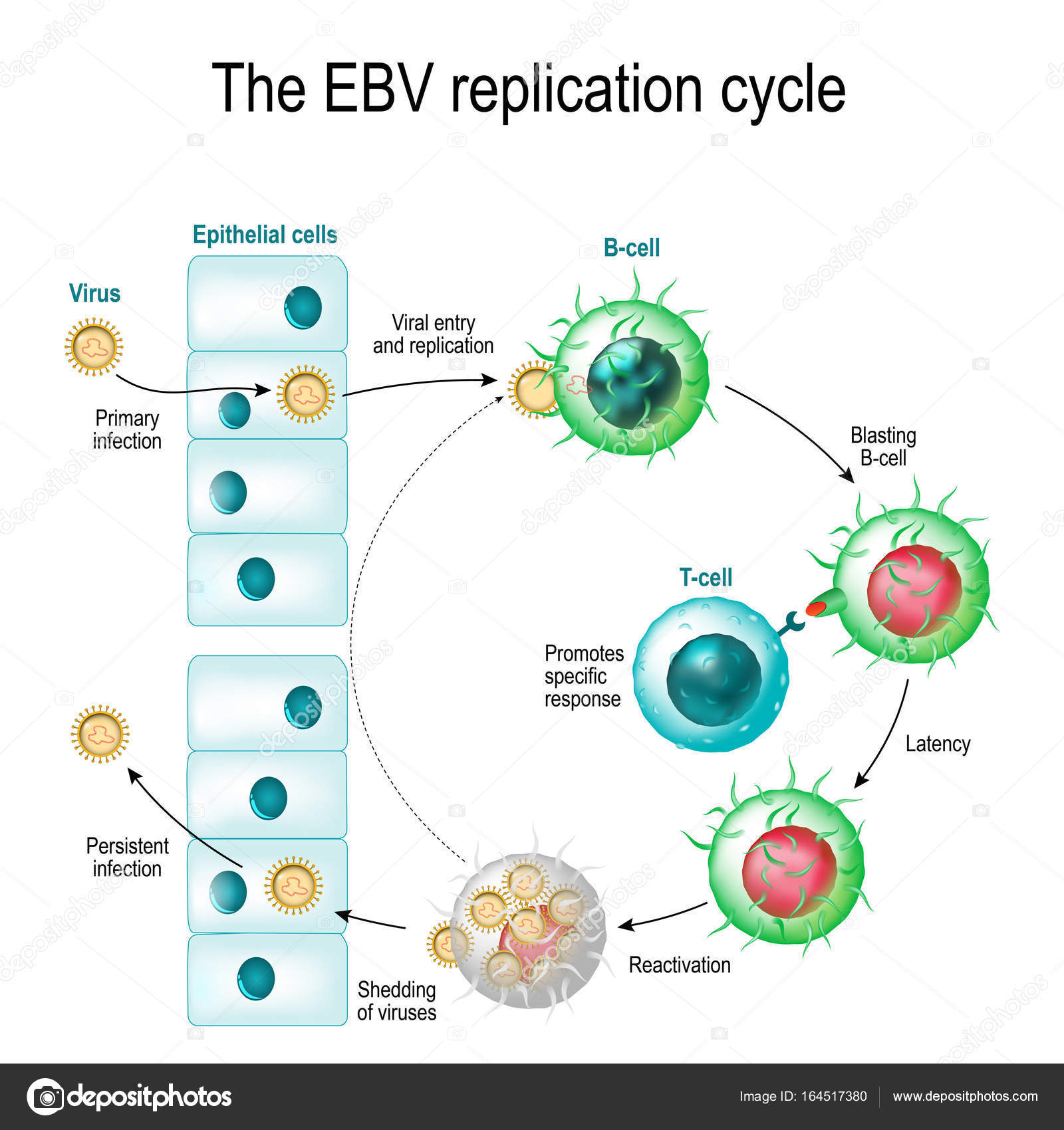 The Sleeping Giant – Tips to Treat Reactivation of Epstein-Barr Virus