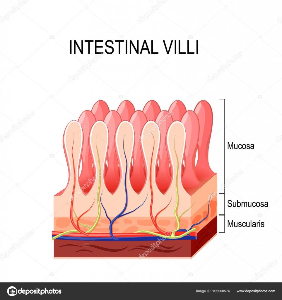 Intestinal Villi Vector Stock Vector Edesignua 165560574