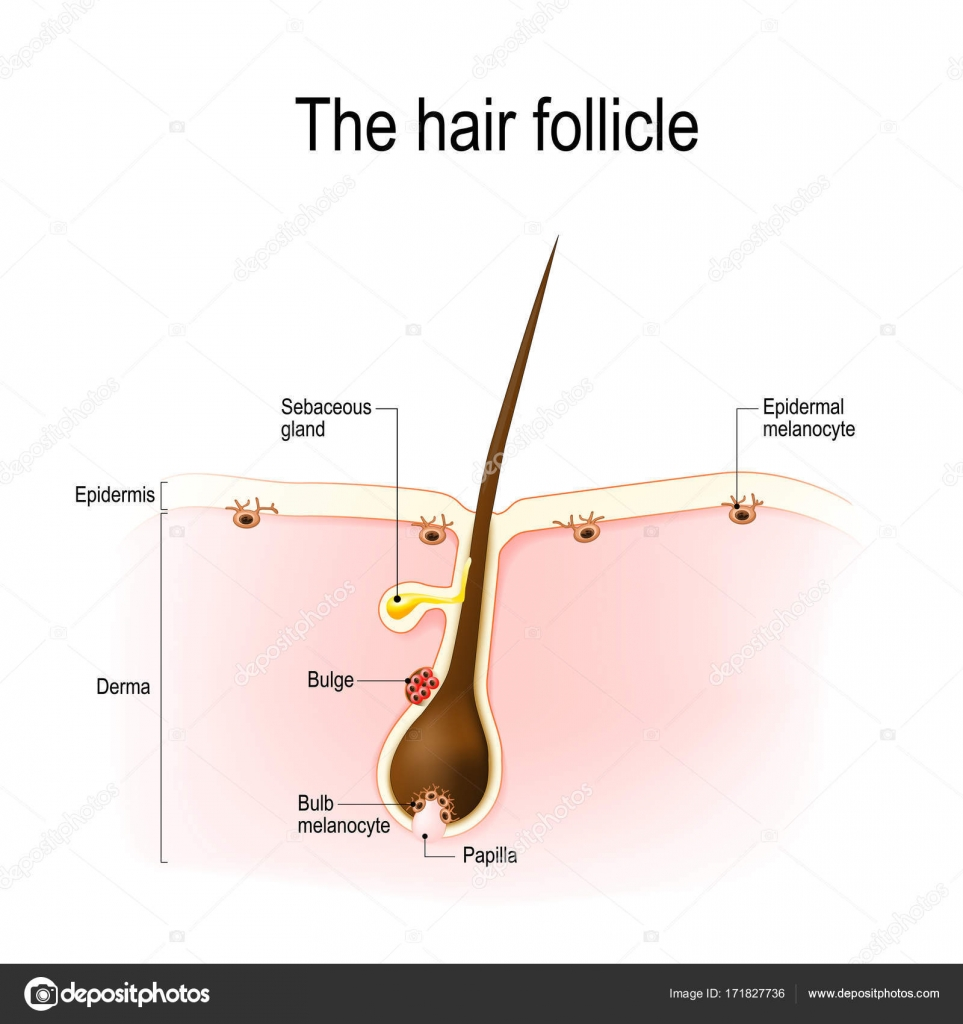 hair follicle. human anatomy — Stock Vector © edesignua #171827736