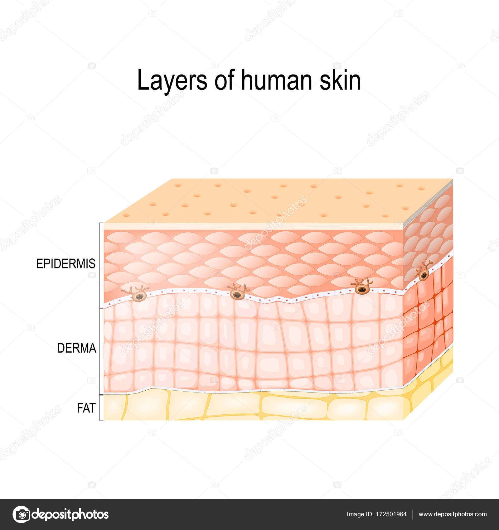 Layers Of Healthy Human Skin Stock Vector Edesignua 172501964
