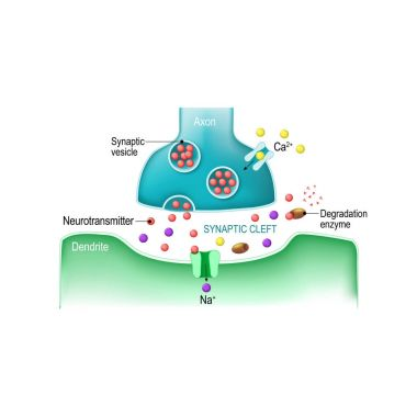 Signal transmission at a chemical synapse