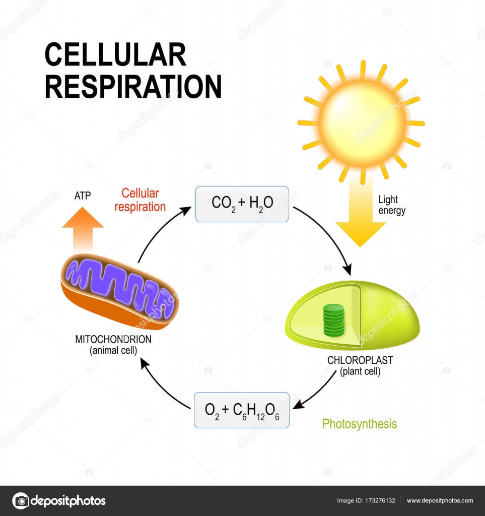 Anaerobic respiration diagram of plant electrical work wiring cellular respiration connecting cellular respiration and photos rh depositphotos com respiratory system diagram aerobic vs anaerobic respiration ccuart Image collections