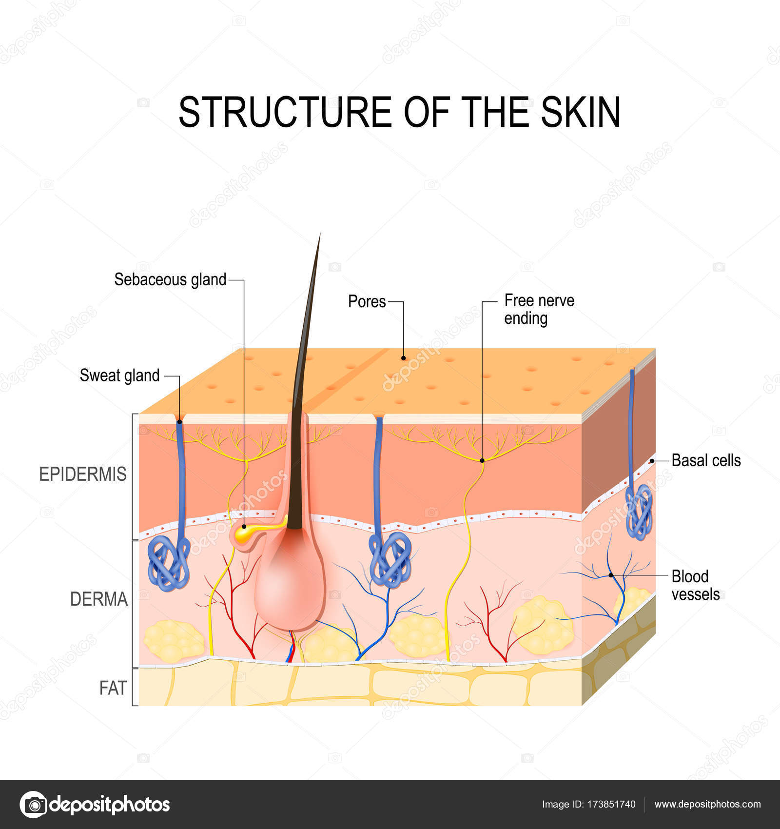 Skin layers with sebaceous gland and sweat glands — Stock Vector ...