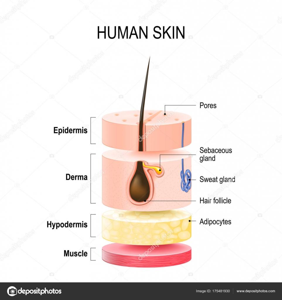capas de la piel humana — Archivo Imágenes Vectoriales © edesignua ...