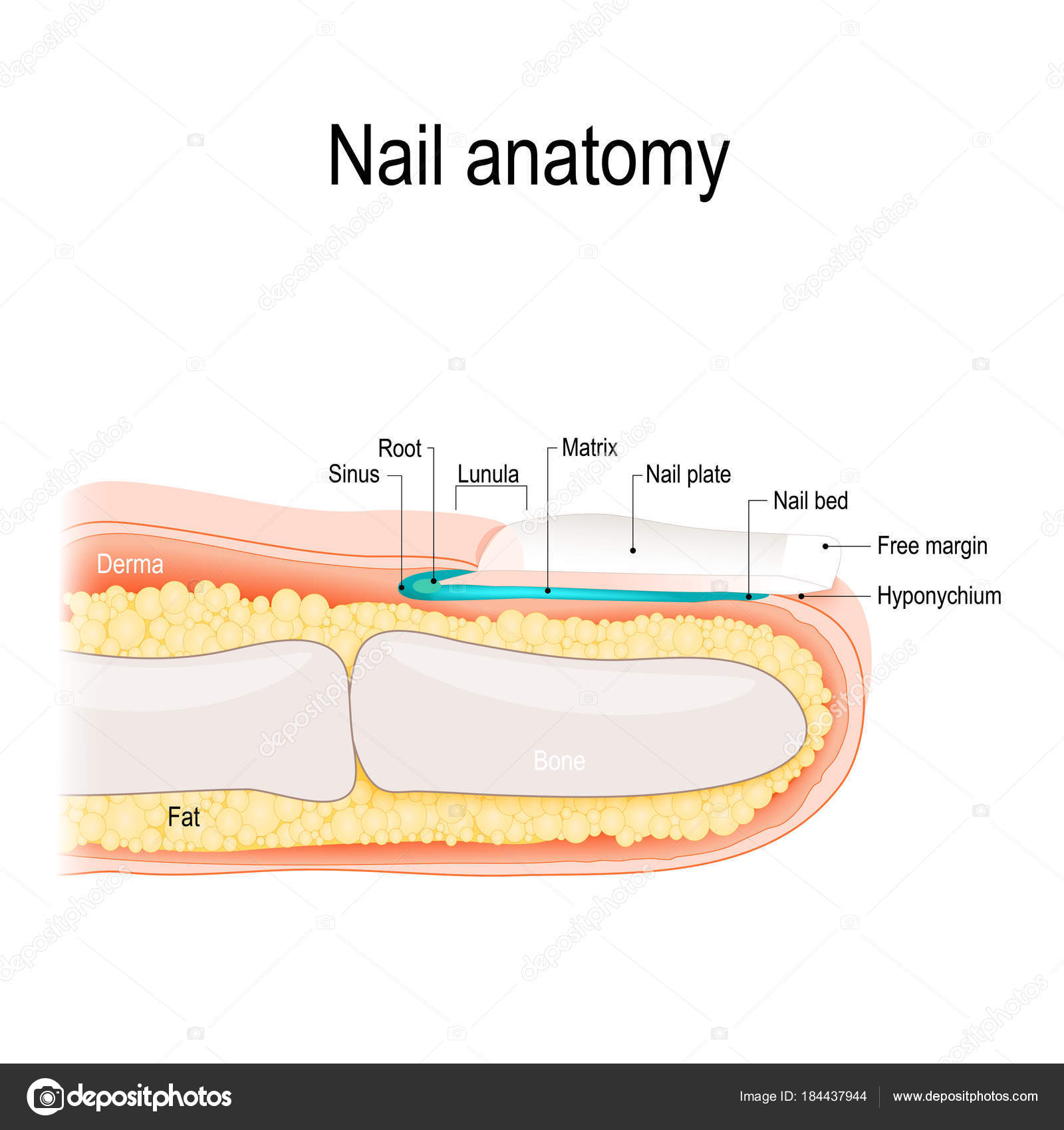Nail anatomy — Stock Vector © edesignua #184437944