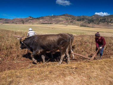 Moray, Peru - May 20, 2016: Men and woman are plouging the field with oxen