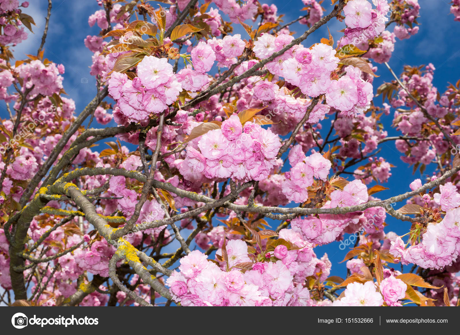 Pink Flowers Tree With Blue Sky Background Stock Photo Pruscha