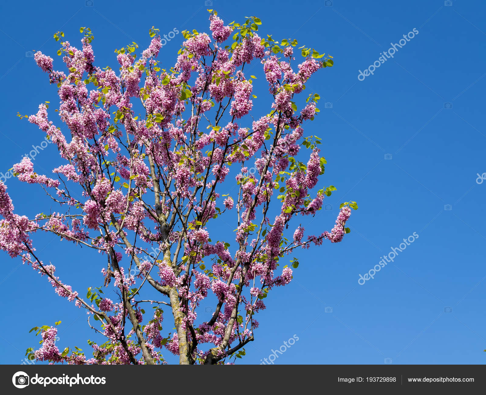Pink flower on a tree with blue sky stock photo acronimo 193729898 pink flower on a tree with blue sky stock photo izmirmasajfo