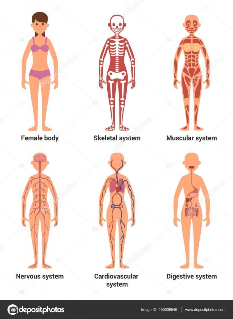 Anatomie van de vrouw. Vectorillustratie van zenuwen en spieren ...