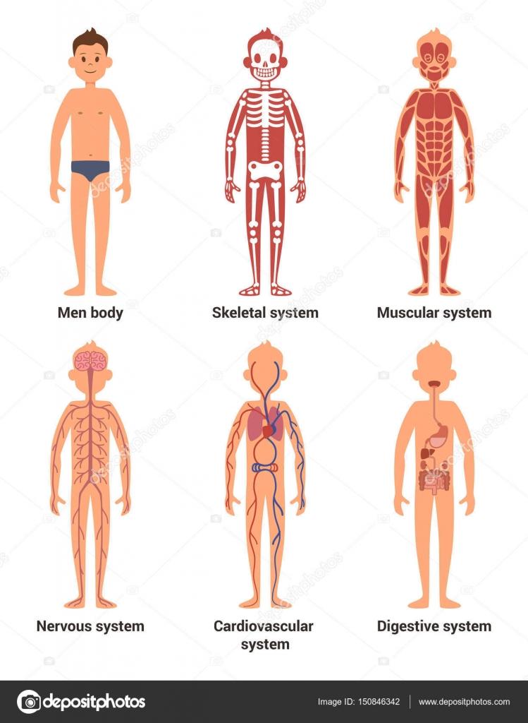 Anatomía del cuerpo de los hombres. Los nervios y los sistemas ...