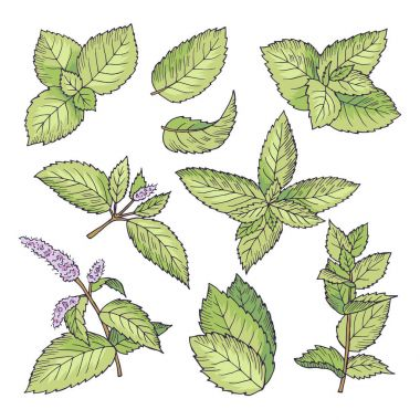 Different vector colored illustrations of herbal mint. Hand drawn pictures of leaves and menthol branches