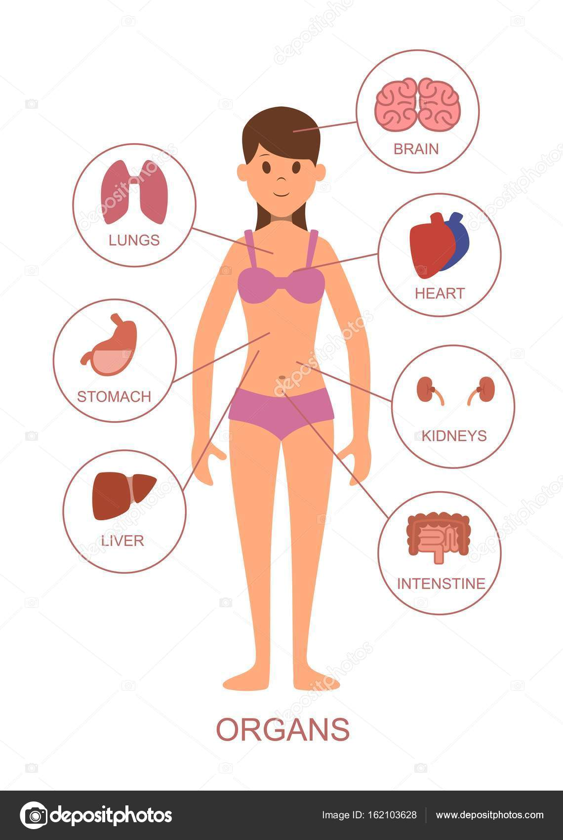 Human Body Organs Human Body Medical Human Anatomy Body System