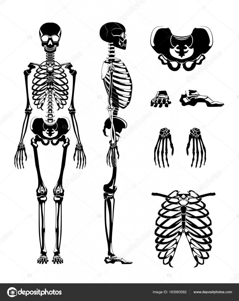 Silueta de vector de esqueleto humano. Imágenes de anatomía ...