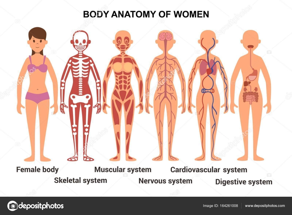 Anatomy Of The Female Body Anatomical Poster Skeletal And Muscular