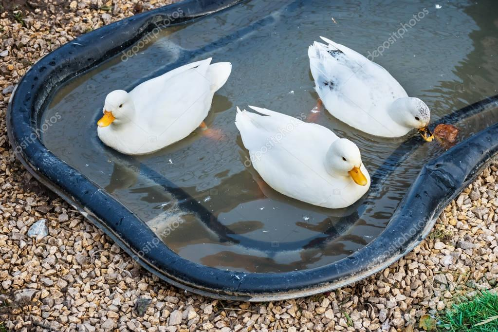 Three white Call Ducks in a little pond