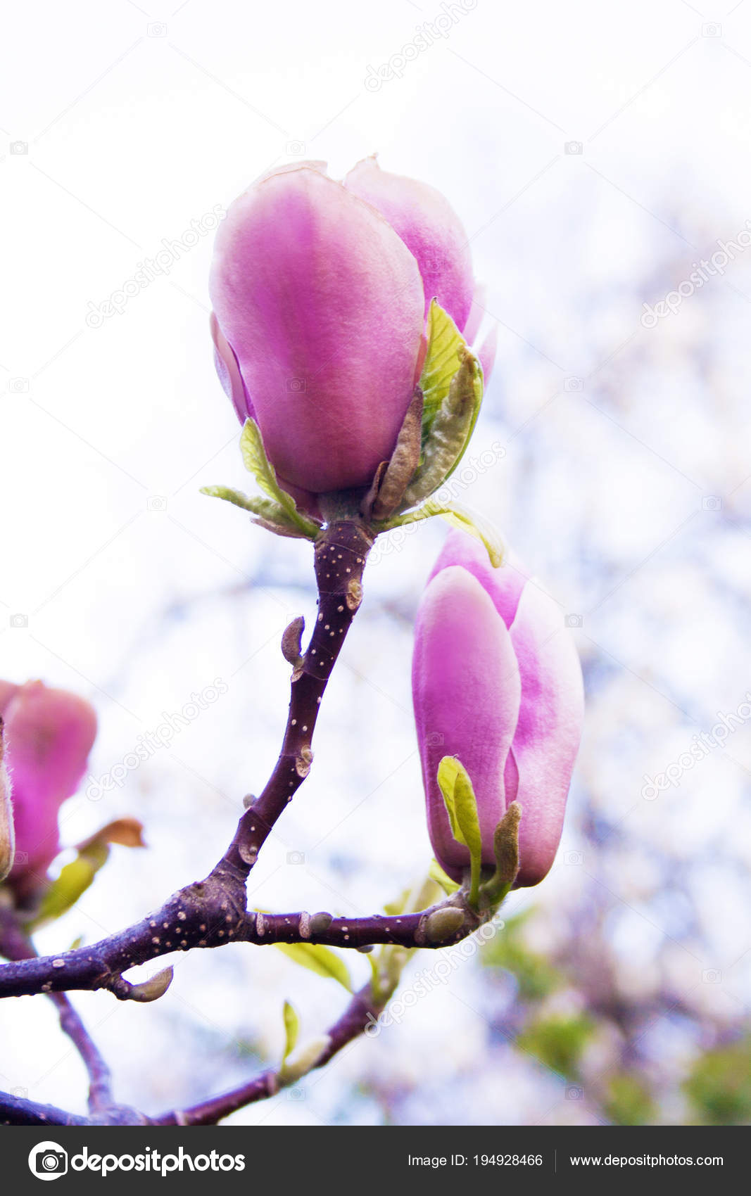 Pink Magnolia Flowers Branch On The Natural Spring Outdoor