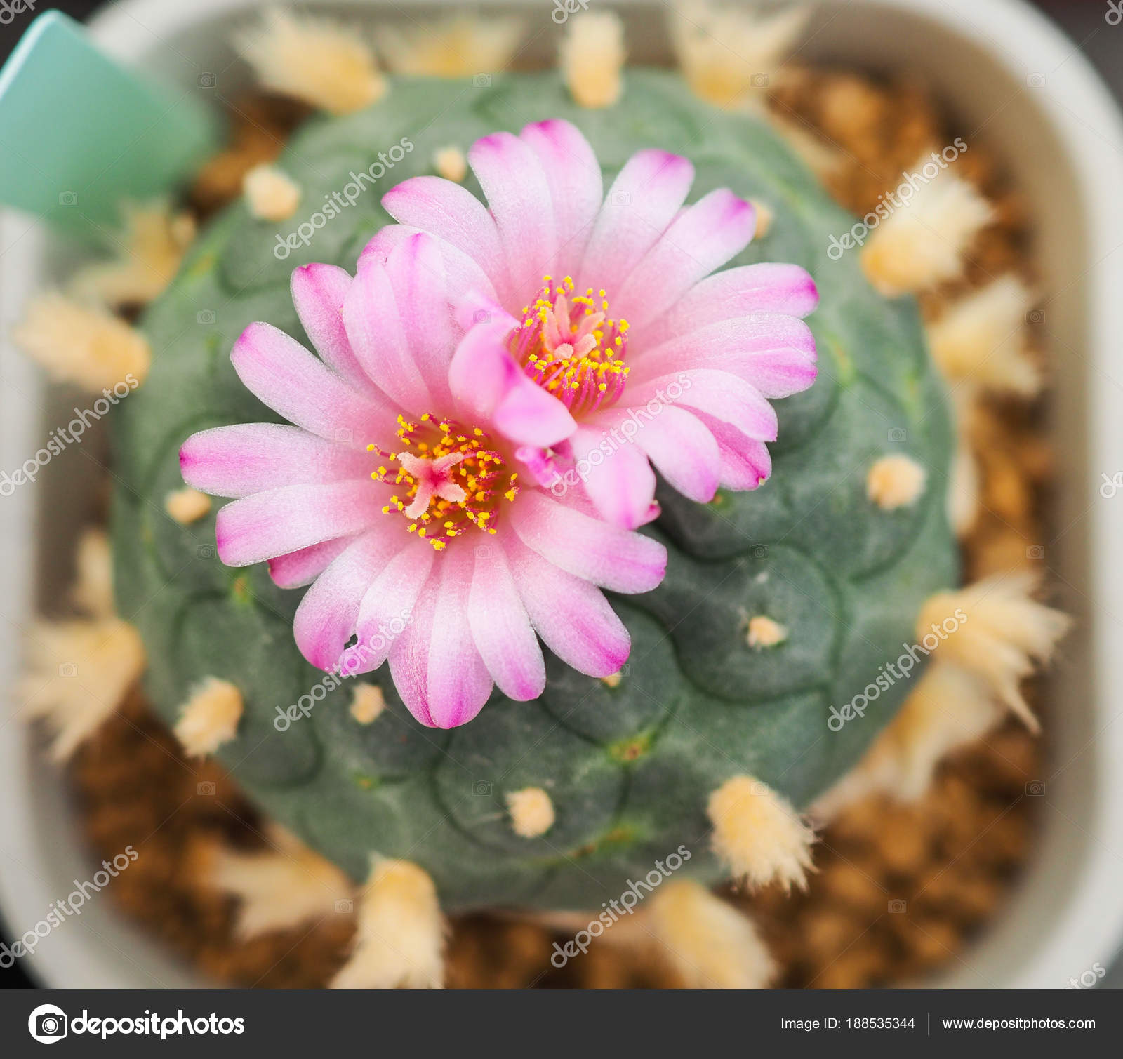 Beautiful pink flower of cactus in the small pot plant for dec beautiful pink flower of cactus in the small pot plant for dec stock photo mightylinksfo