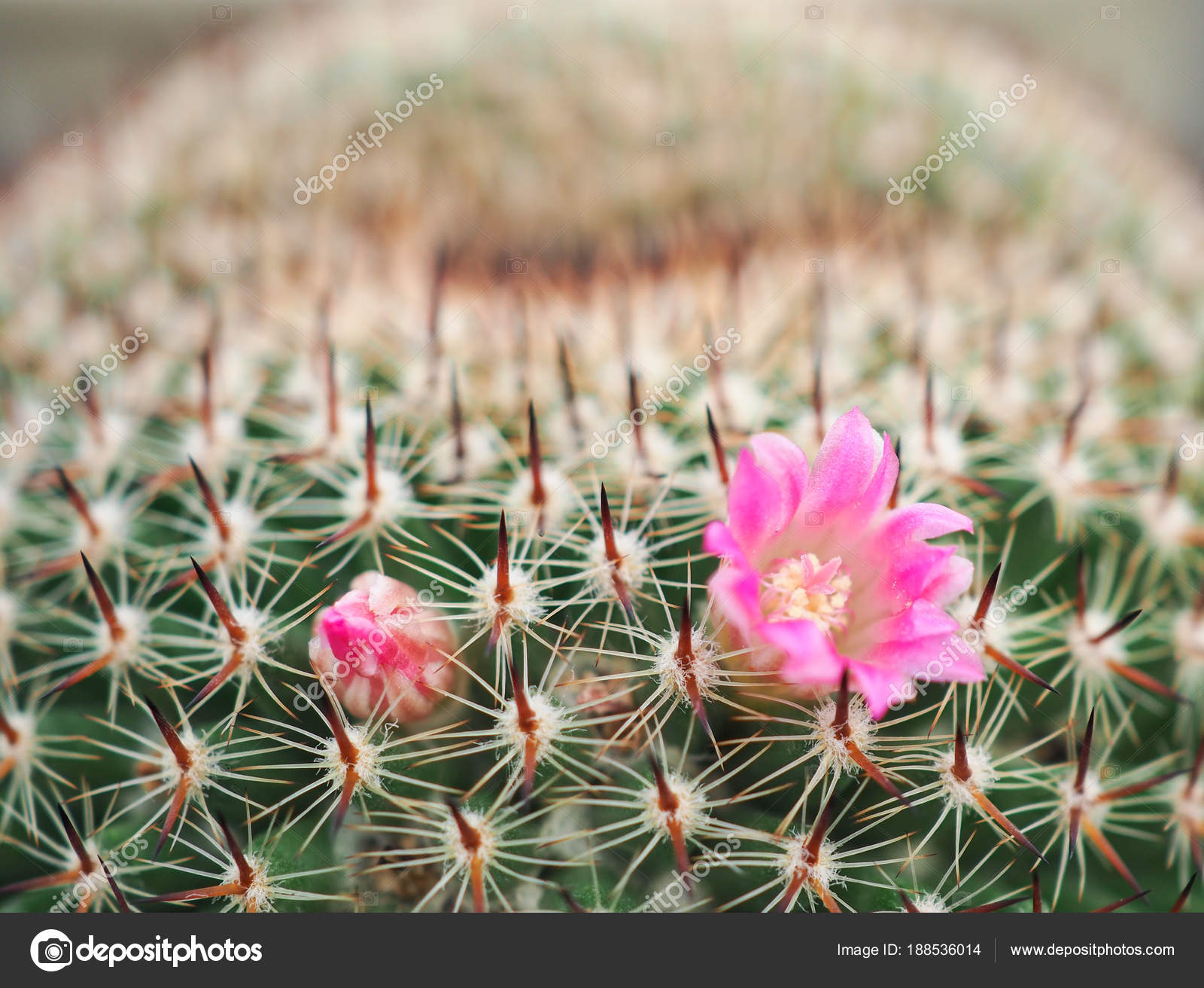 Beautiful Pink Flower Of Cactus In The Small Pot Plant For Dec