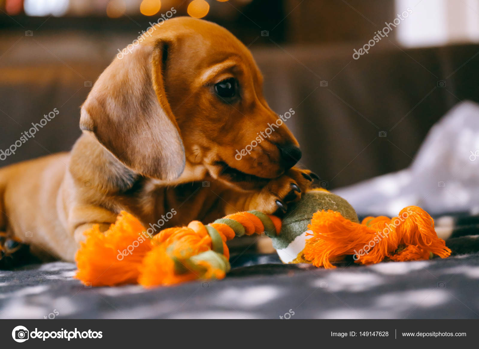 Dachshund Puppy Plays With A Toy Stock Photo C Alenakr 149147628