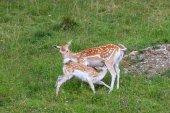 Photo fallow deer (Dama dama). Parc de Merlet, France