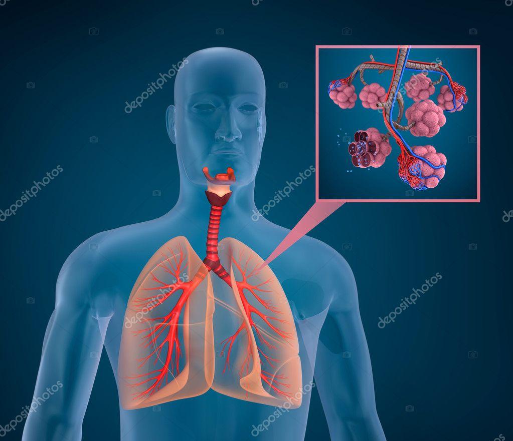 Anatomía del sistema respiratorio humano - saturación de oxígeno de ...