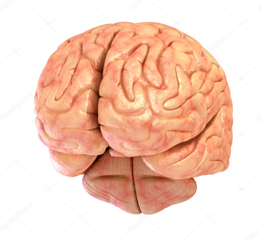Human brain 3D model, isolated on white — Stock Photo © Alexmit ...