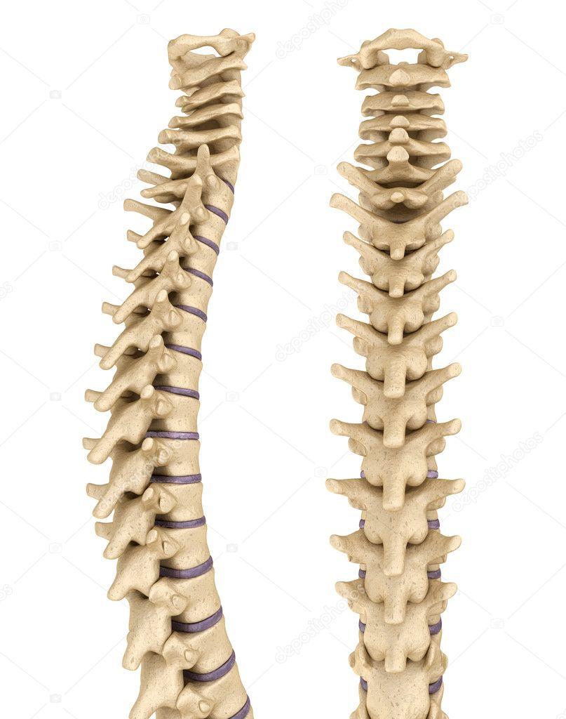 Spine anatomy , 3d render — Stock Photo © Alexmit #127926012