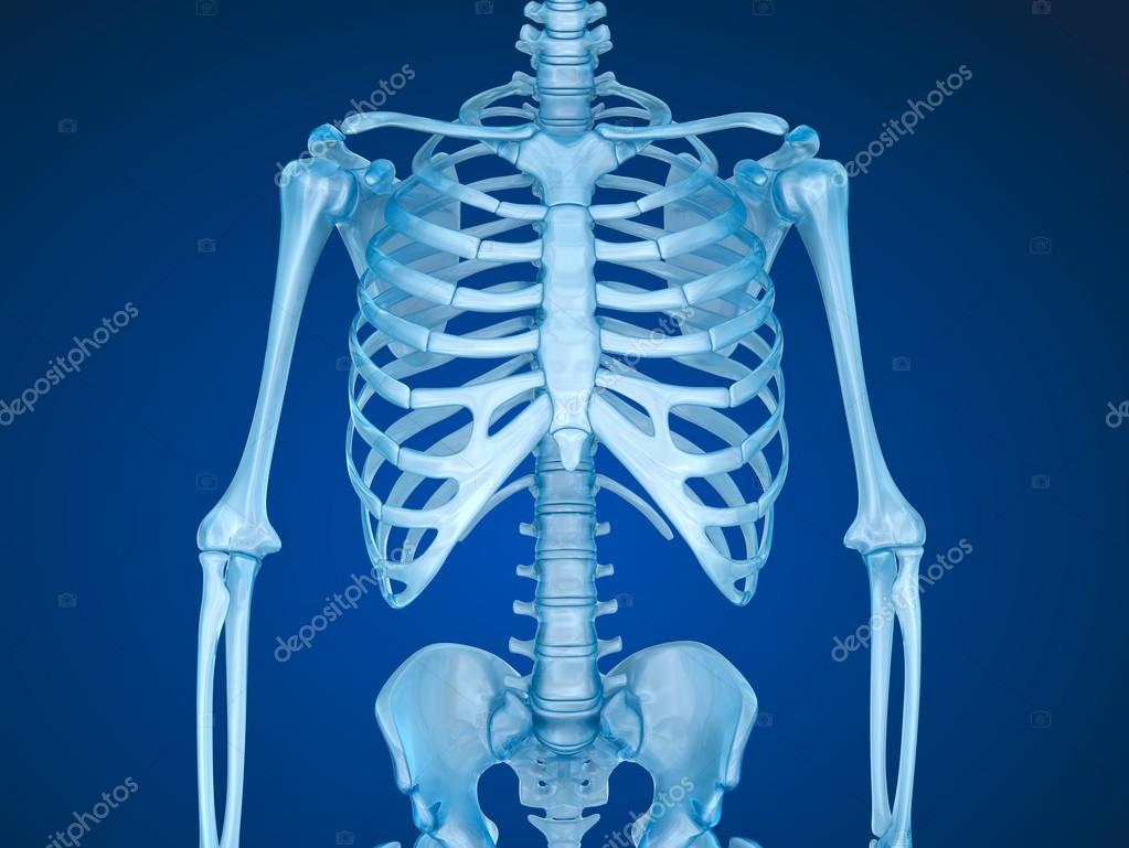 人間の骨格、胸胸 — ストック写真 © Alexmit #127927502