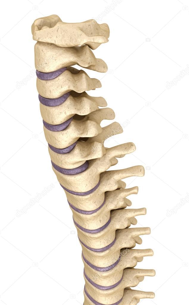 Anatomía de la columna vertebral, render 3d — Foto de stock ...
