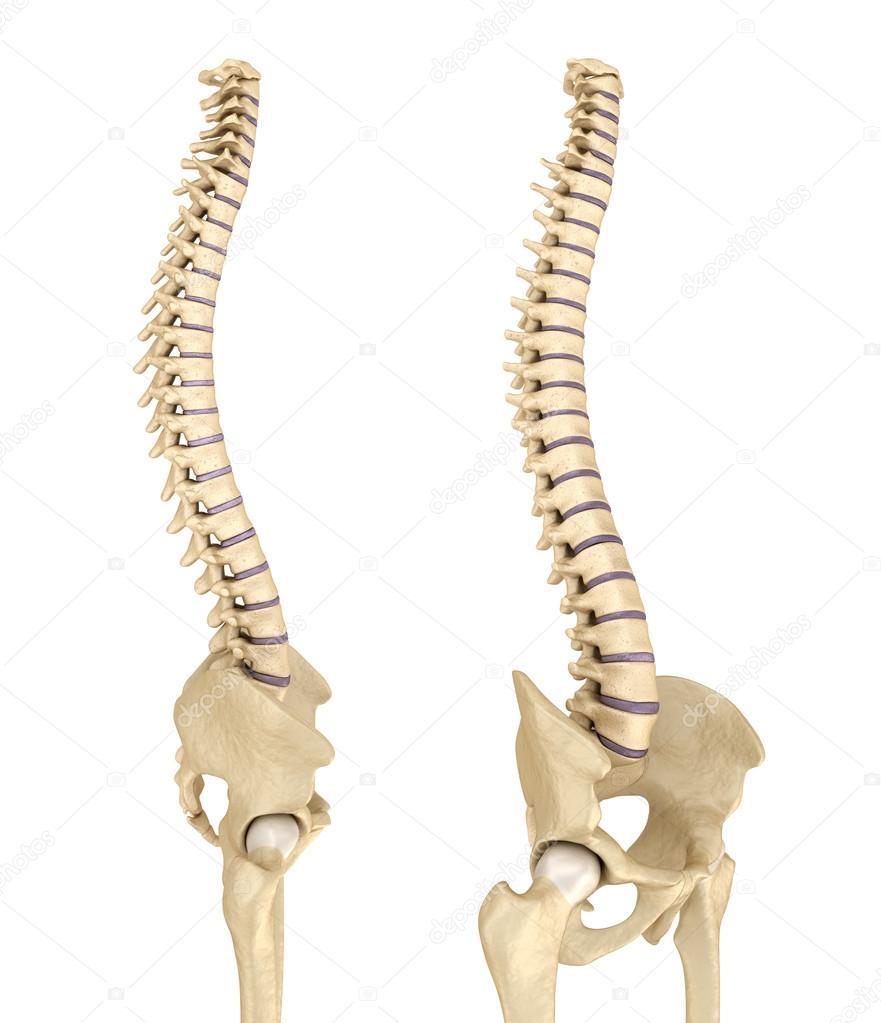 Wirbelsäule und Becken. Medizinische präzise 3d illustration ...