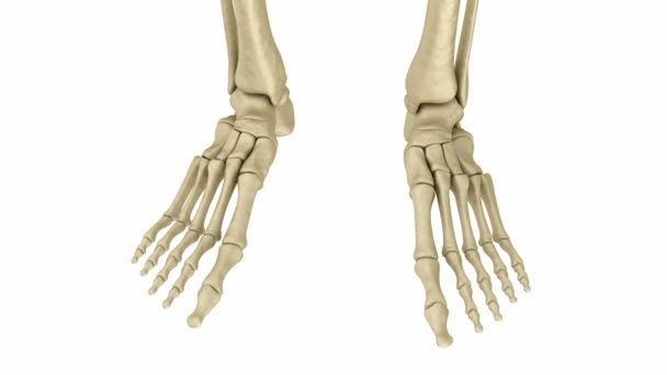 Skeletal foot anatomy. Human skeleton. Medically accurate 3D animation