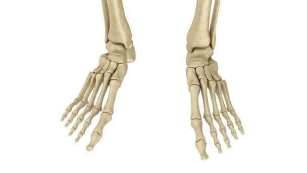 Skeletal Foot Anatomy Human Skeleton Medically Accurate 3d