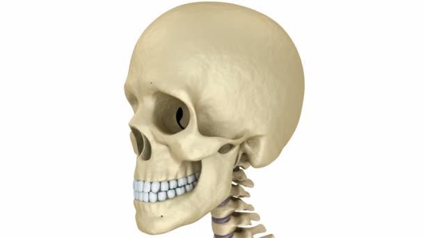 Lidská lebka kostra. Lékařsky přesný 3d animace