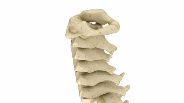 Anatomie der Halswirbelsäule. Menschliches Skelett. Medizinisch ...