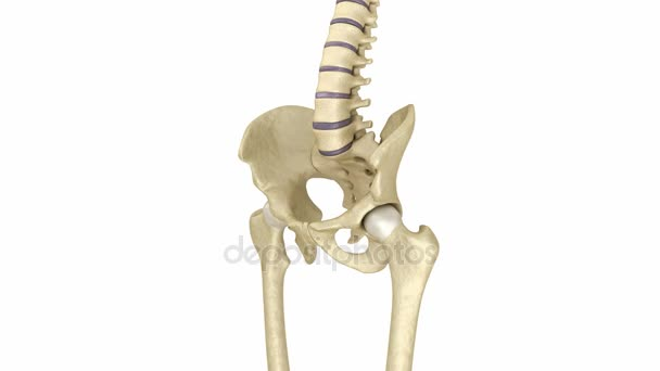 Human skeleton: pelvis and sacrum. Medically accurate 3D animation