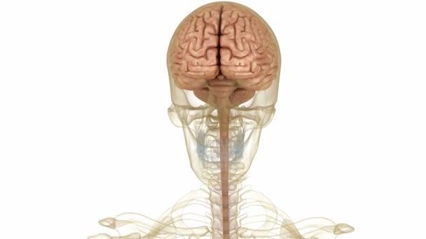 Cerebro y esqueleto, anatomía humana. Animación 3d médicamente ...