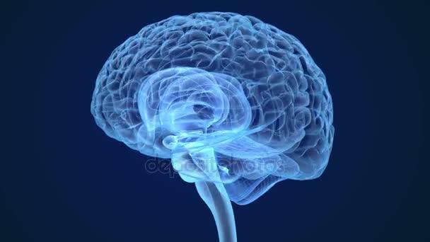 Lidský mozek X-ray skenování, lékařsky přesný 3d animace