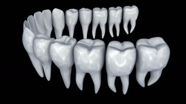Denti umani animazione 3d. Anatomia di odontoiatria medicalmente precise.