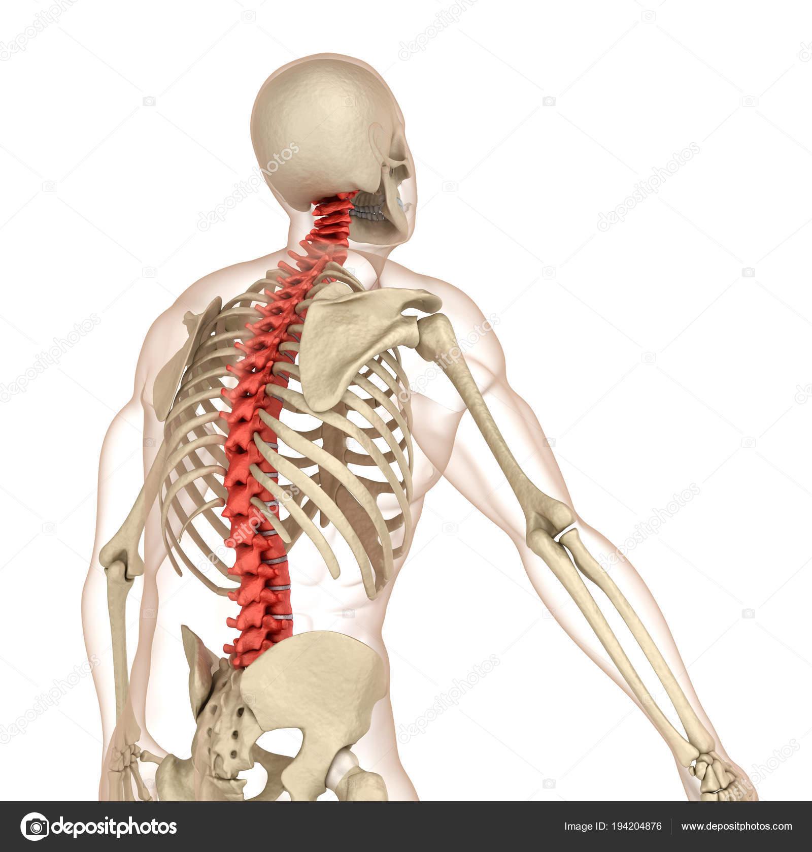 Anatomía Columna Vertebral Ilustración Médicamente Exacta — Foto de ...