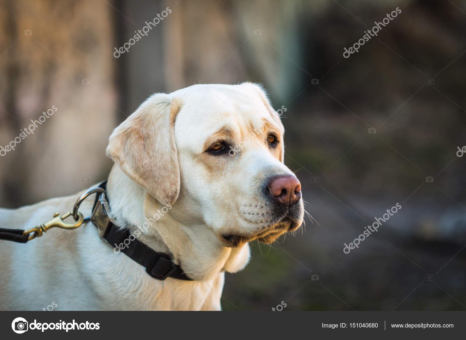 Portrait de jeune chien beige race labrador — Photographie Zayne_C ...
